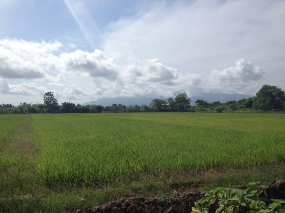 Gunung Palung sits behind rice fields in Sedahan village- when city life in Ketapang gets boring, I can always come here!